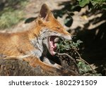 Red Fox Lies And Yawning In Th...