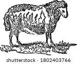 domestic sheep are quadrupedal  ... | Shutterstock .eps vector #1802403766