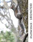 A Squirrel Climbs Up A Tree.