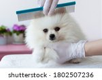 A White Furry Pomeranian Pup Is ...