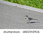 A Small Wagtail Poses For A...