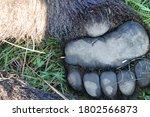 Brown Bear  Ursus Arctos...