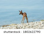 A Fawn Drinks Water On The...