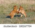 Lion Cubs Playing After A Good...