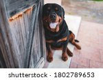 Small photo of Cute rottweiler dog sitting on the ground near the wooden doors and looking on camera with open mouth, amazing domestic pet and trusty watchdog