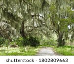 A Dirt Road Undereath Live Oak...