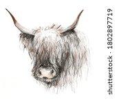 Scottish Red Bull Sketch...