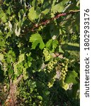 vineyard in pozega  slavonia ...   Shutterstock . vector #1802933176