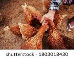 Hand Of Farmer Feeding Chicken...