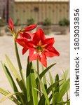 Beautiful Red Amaryllis Lily...