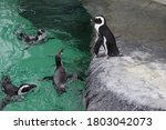 Several Humboldt Penguins Also...