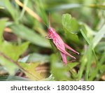 pink grasshopper in the grass