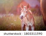 Beautiful Haflinger Foal  ...