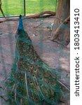Beautiful Peacock Sitting In A...