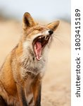 Portrait Of A Yawning Red Fox ...