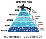 arctic food chain pyramid... | Shutterstock .eps vector #1803484309