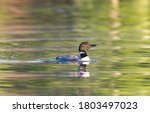 Small photo of Loon on Nettie Lake summer of 2020