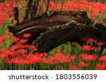 A Fallen And Felled Tree That...