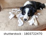 Small photo of Naughty playful puppy dog border collie after mischief biting toilet paper lying on couch at home. Guilty dog and destroyed living room. Damage messy home and puppy with funny guilty look