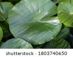 Beautiful Large Green Leaves Of ...