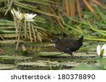 Small photo of A young Black Crake (Amaurornis flavirostris)walking on lily pads
