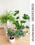 Houseplants Fittonia  Monstera  ...