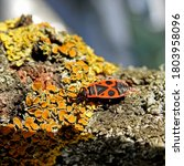 A Wingless Insect Named The...