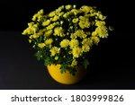 Blooming Yellow Chrysanthemums...