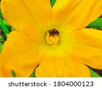 A Bumblebee Collects Pollen...