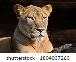 Portrait Of A Lioness Lying In...