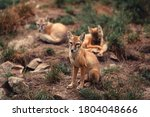 Young Corsac Fox In The Zoo...