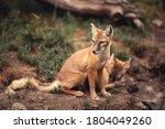 Corsac Fox Cub In The Zoo