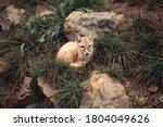 Corsac Fox Lying In The Grass
