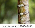 Lichen Growing On Palm Tree...