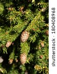 Small photo of Norway Spruce with Pinecones