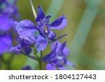 Purple Flowers Of Doubtful...