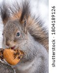 Portrait Of A Squirrel With Nut ...