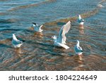 A Flock Of Ivory Gulls In The...