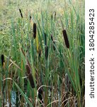 Reed Mace Plant Also Known As...