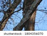 Red Headed Woodpecker Peeking...