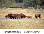Small Herd Of Bison With Calve...