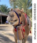 Camel Smiles At The Camera