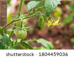 Small Green Tomatoes Ripen In...