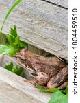Brown Spotted Frog Walks In Th...