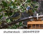 Juvenile Bluetit On Garden Suet ...