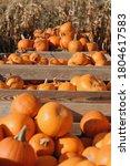 Farm Pumpkin Harvest In Autumn