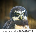 Spectacled Owl   Pulsatrix...