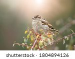 Little House Sparrow  Passer...