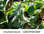 Lamb\'s Ear Leaves With A...