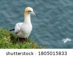 Gannet Collecting Nesting...